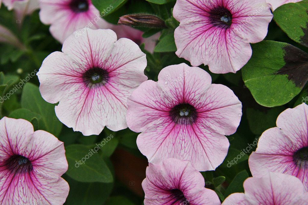 Closeup Of Small Pink And White Flowers Stock Photo Melking 2016064