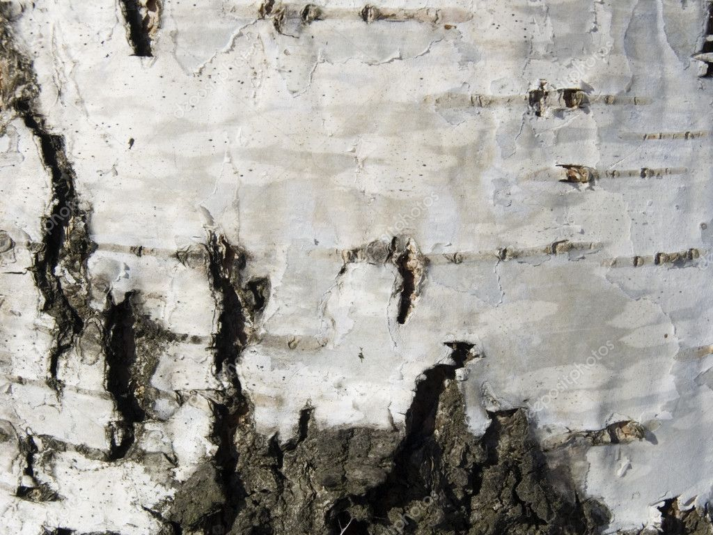 Texture from a birch bark