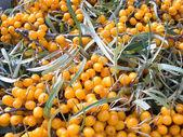 Fruits of sea-buckthorn berries