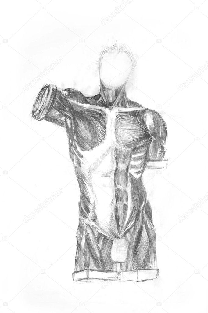 Torso Anatomie der Muskeln des Mannes — Stockfoto © Firststar #2232765
