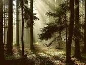 jehličnatý Les za svítání