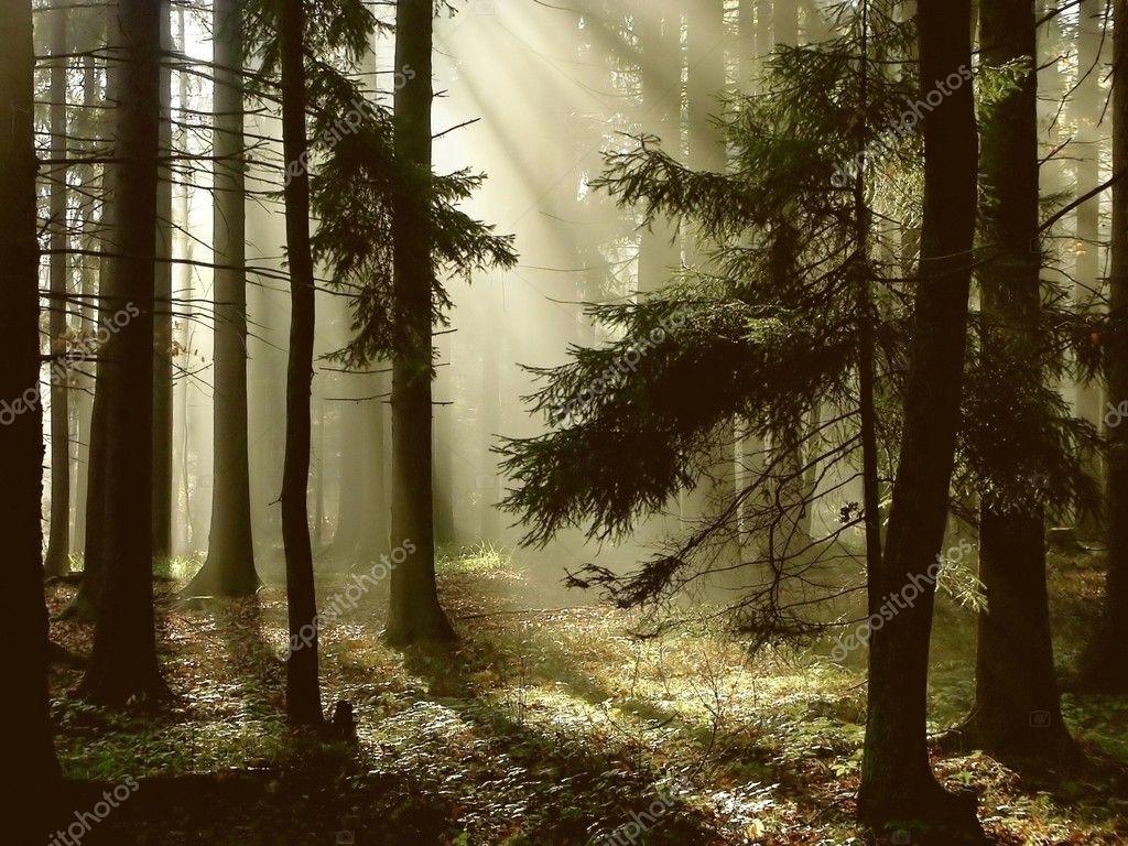 Фотообои Coniferous forest at dawn