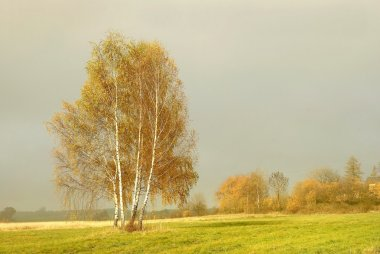 Birch before dusk on a hill