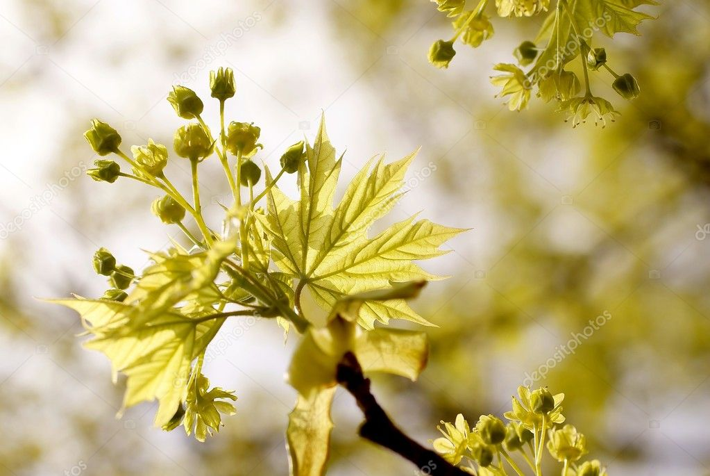 Yellow maple leaves on a twig