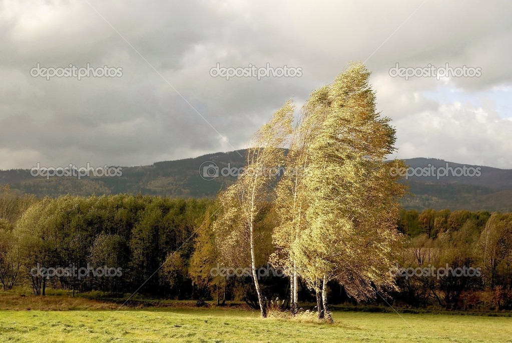 Birches on windy day