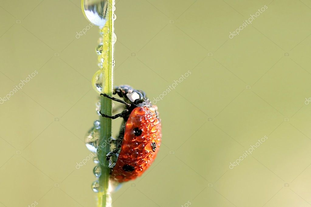 Ladybird with morning dew