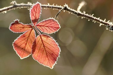 Autumn leaf covered with frost