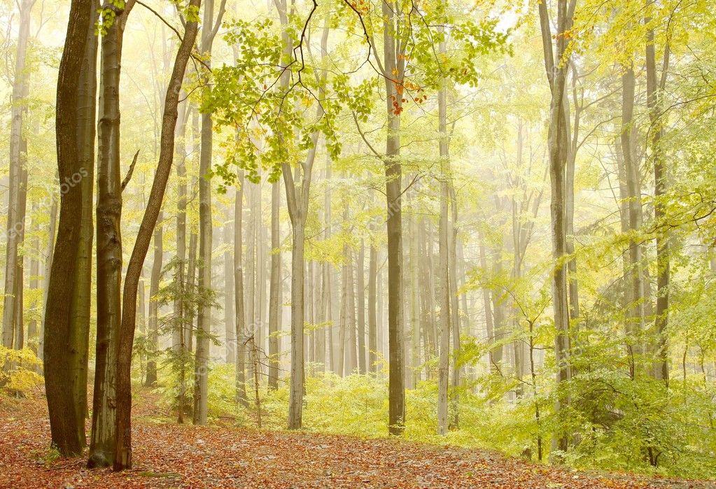 Misty beech woods on the mountain slope