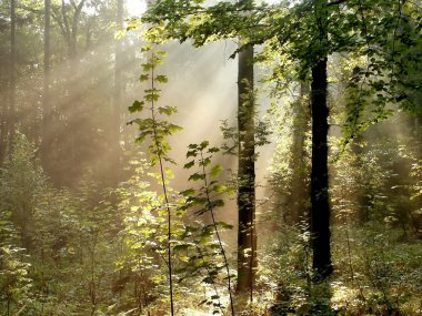 Sunlight falls into the misty woods