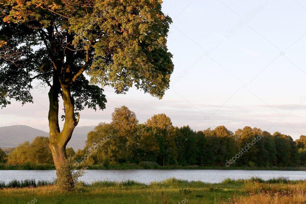 Maple tree at dawn