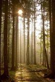 jehličnatého lesa při východu slunce