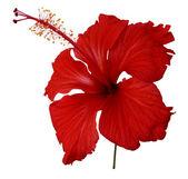 ibišek červený květ na bílém pozadí