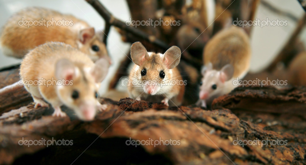 African, desert thorny mouse ( Acomys ca
