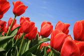 Vörös tulipán? Holland ország