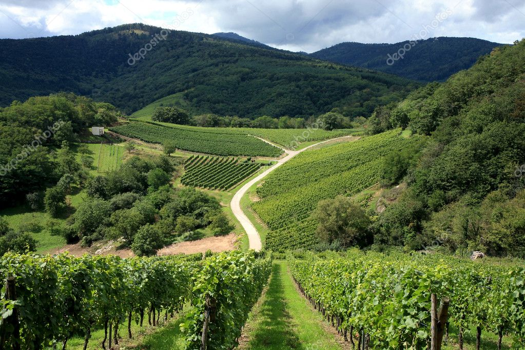 Vineyard in Alsace - France, Vosges