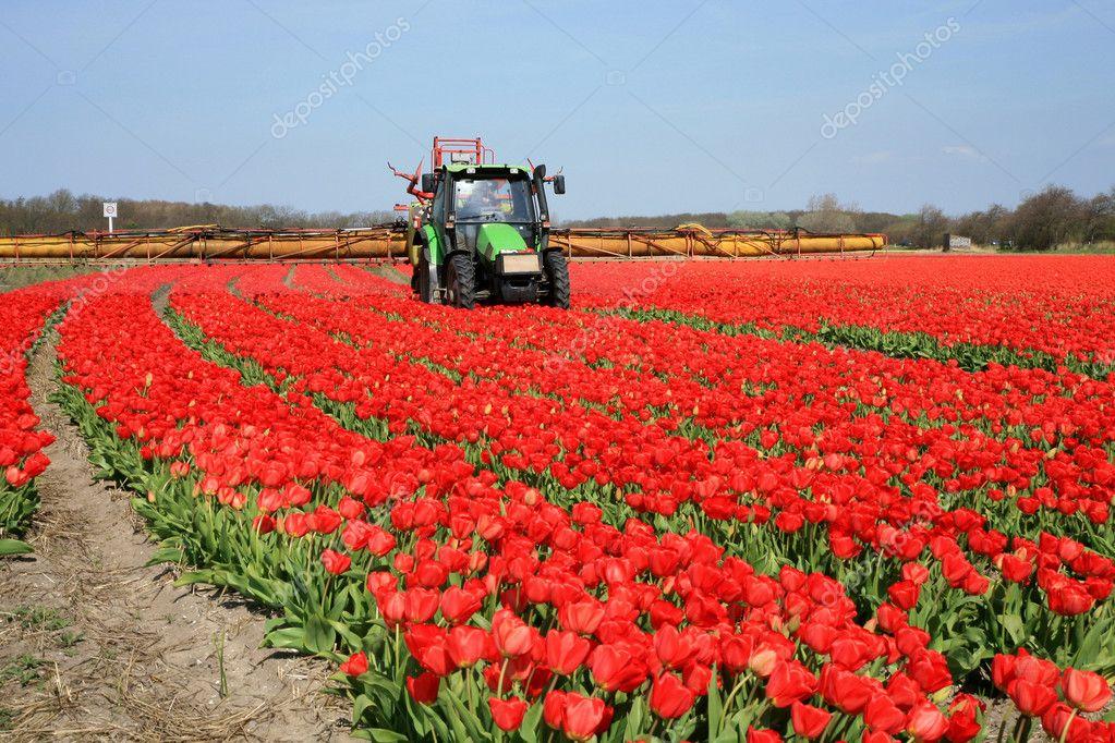 Tulips farm in Netherlands.