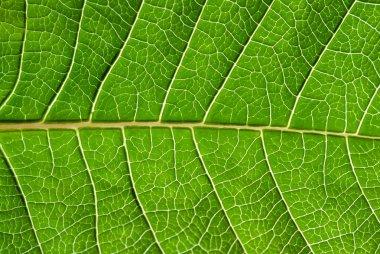 Leaf detail.