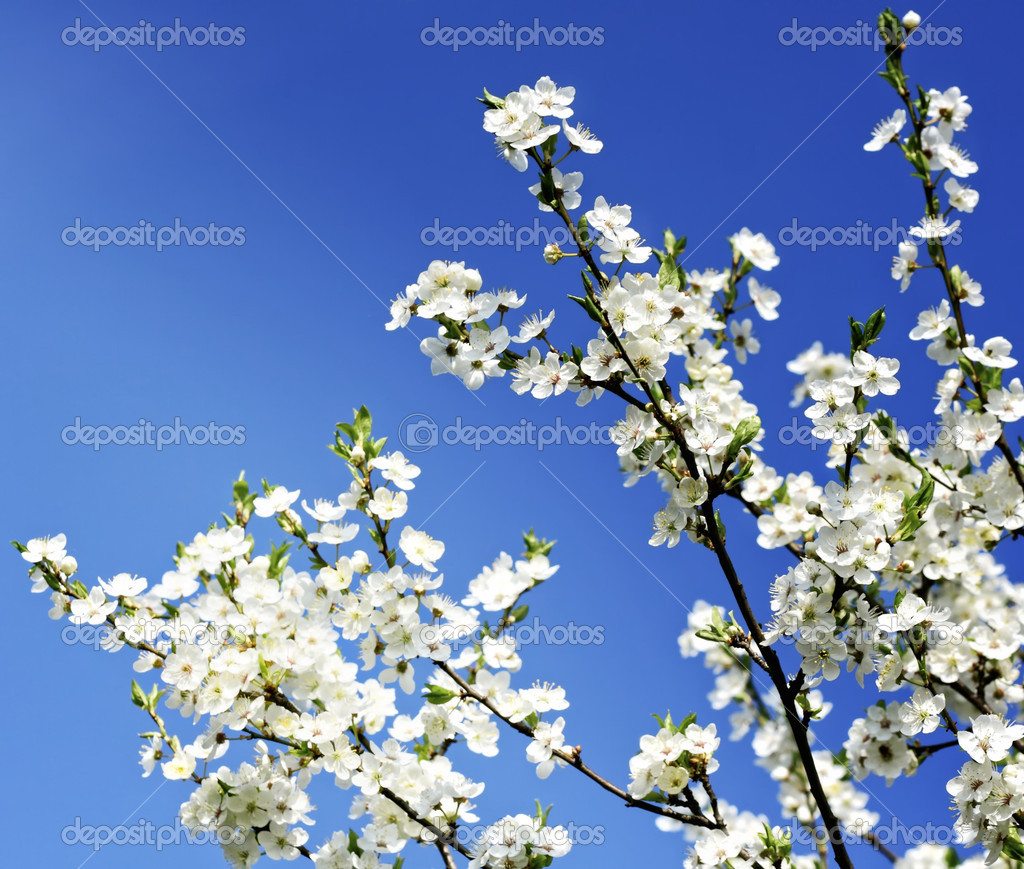 Apple tree flowers on blue sky