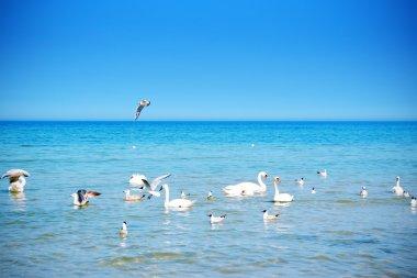 Swan familiy in the sea