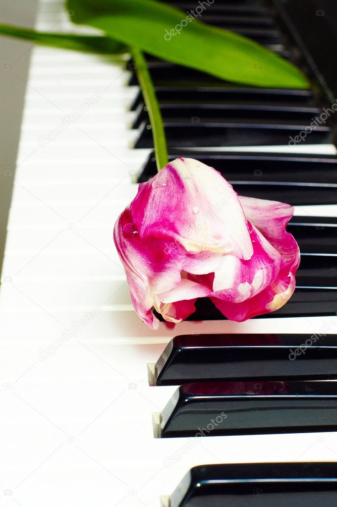 Tulip on the piano keyboard