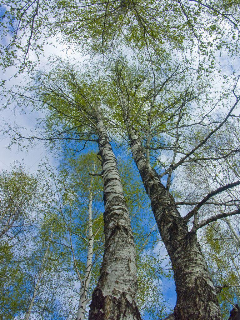 Spring sky through branches of a birch