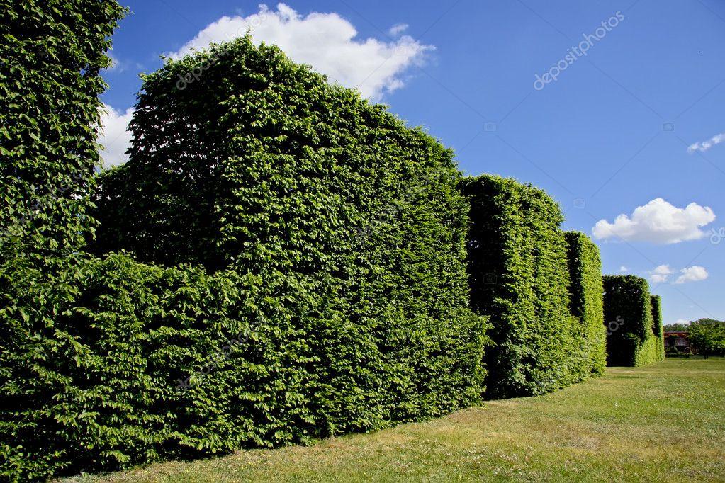 Hedge against blue sky.