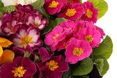 Květiny, petrklíč