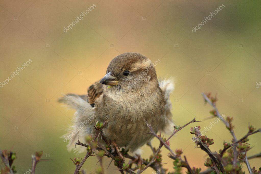 Sparrow house sparrow