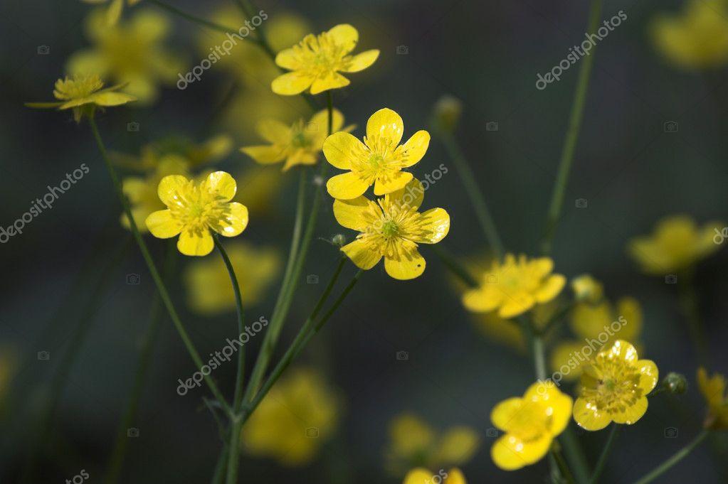 Fiori selvatici primaverili gialli da vicino \u2014 Foto di