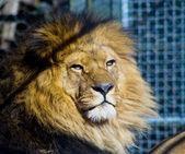 oroszlán ketrecben