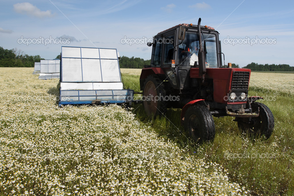 Machine harvesting Camomile medicinal