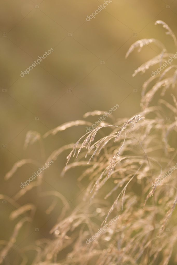 Dried grass with limited focus