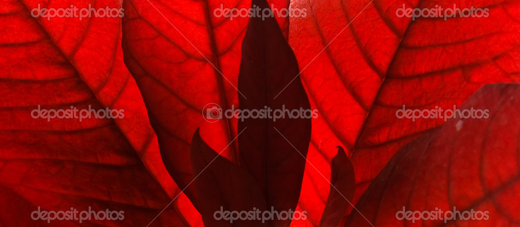 Red leaves background