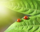 Fotografia due coccinelle in verde foglia