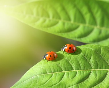 Two ladybugs in green leaf