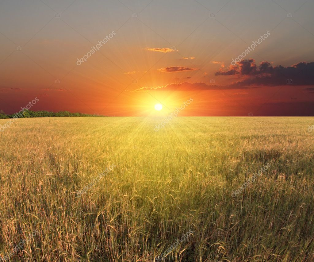 Field of sunflowers and sunset