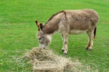 Donkey eating hay in the field