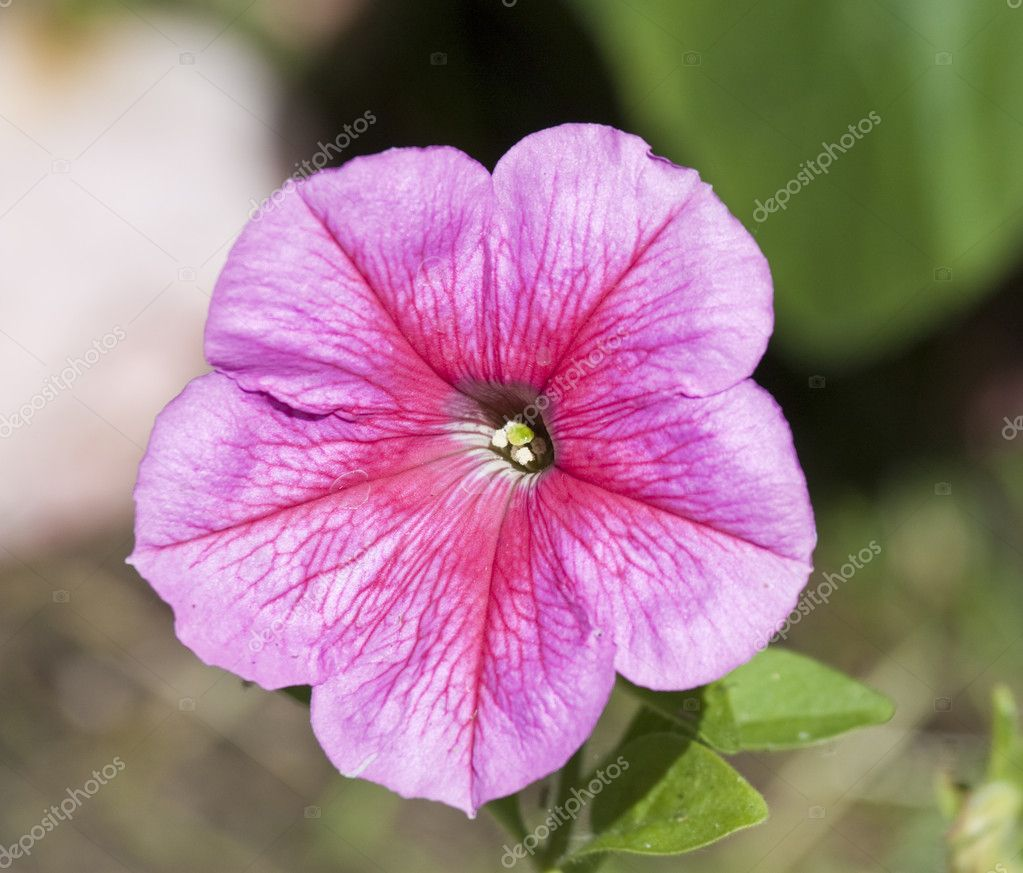Pink pansy stock photo joingate 1967028 close up macro shot of pink pansy flower photo by joingate mightylinksfo