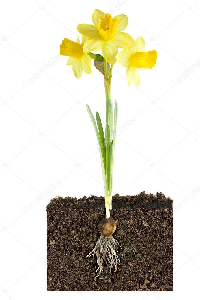 Narciso y bulbo metfora de crecimiento Fotos de Stock Joingate