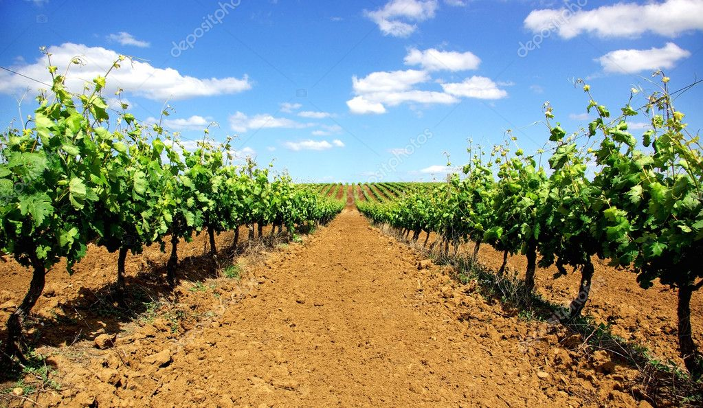 Portuguese vineyard.
