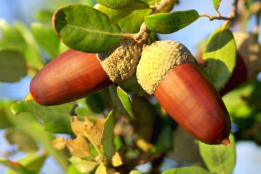 Two acorns on branch.