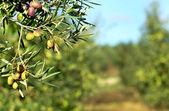 Fotografie olivy v portugalské oblasti