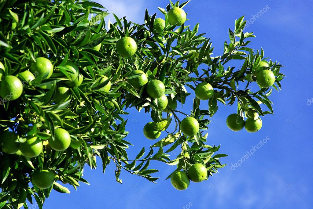 Green oranges on tree.