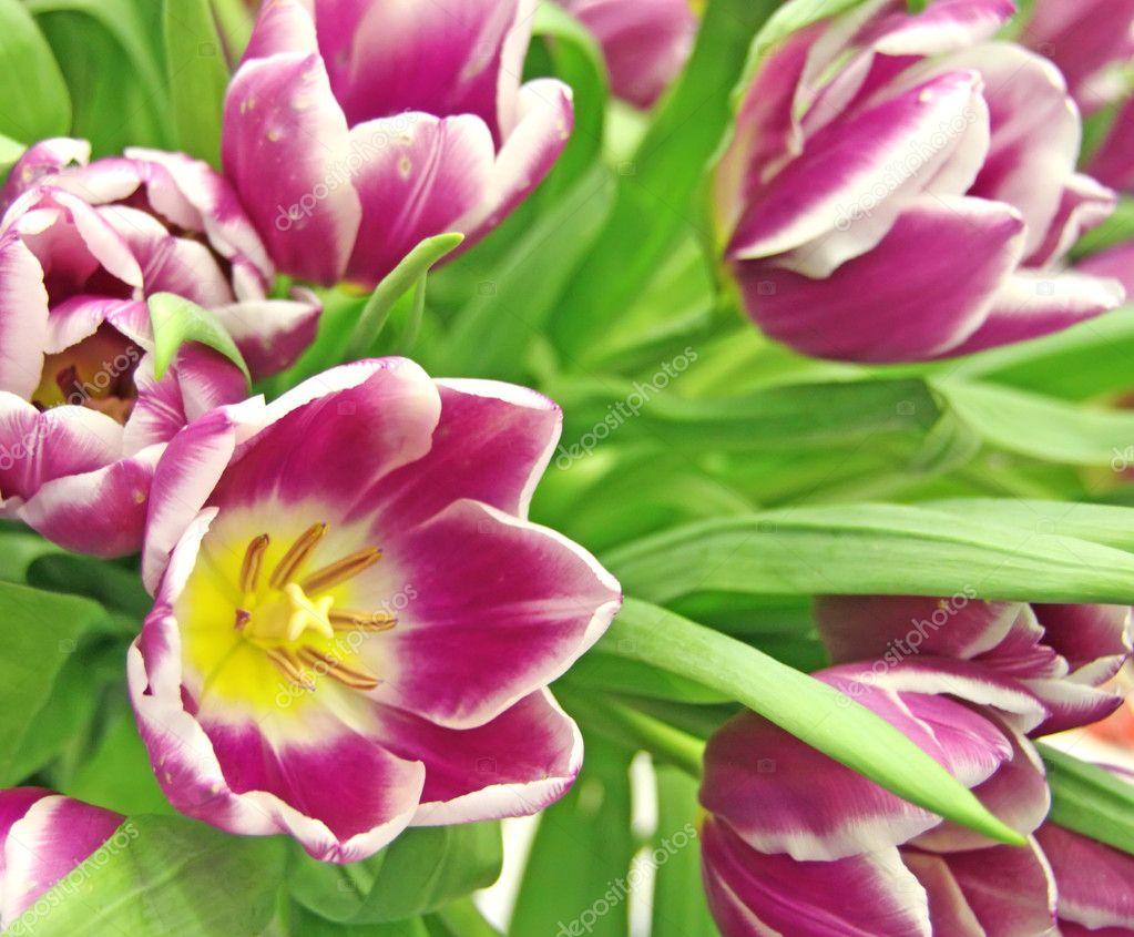 Cardinal tulips