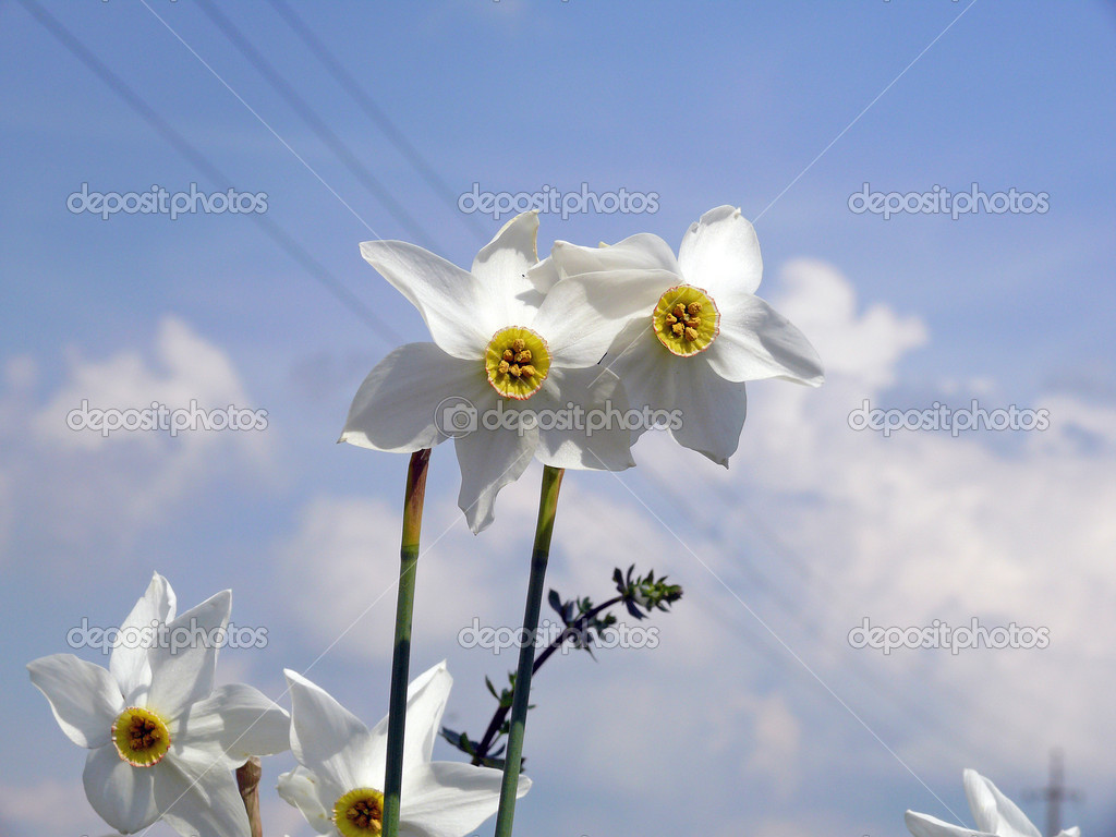 Two narcissus