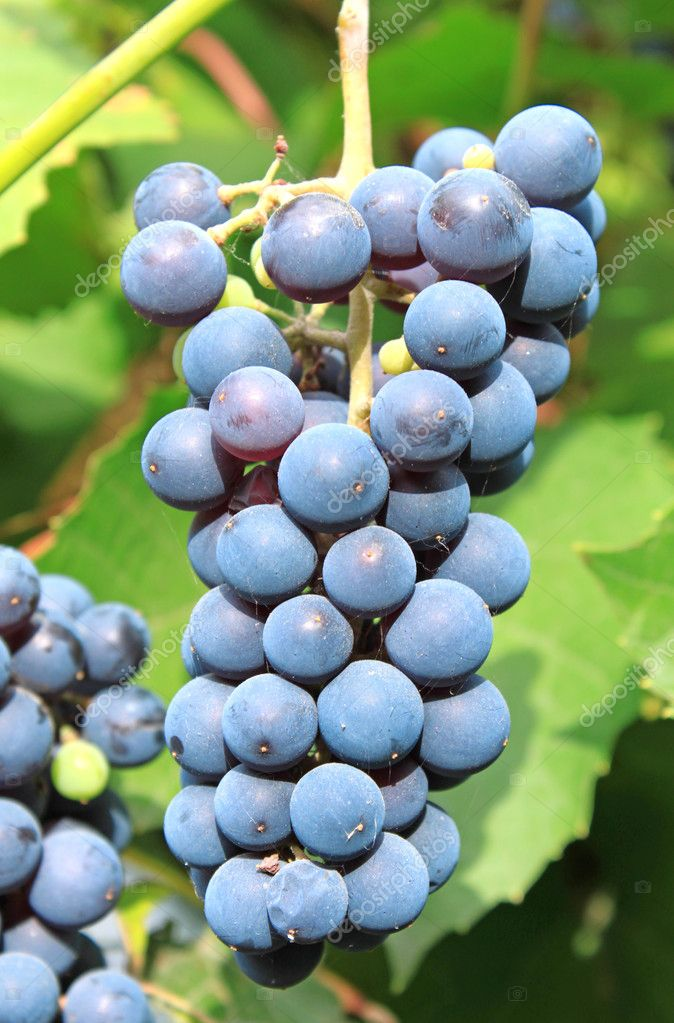 Grape-gathering