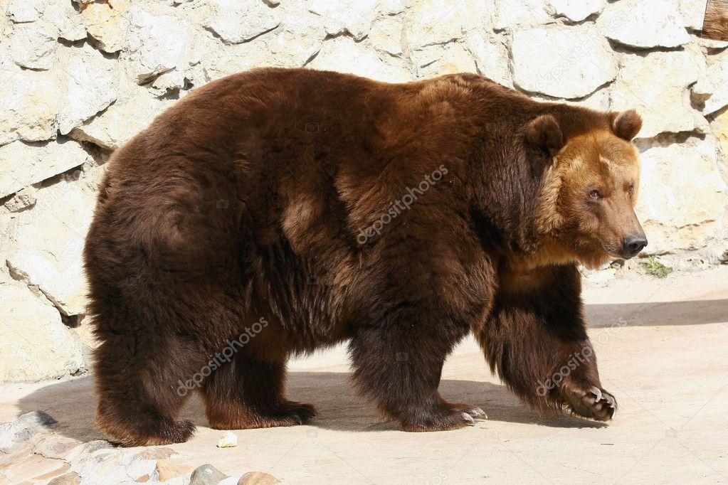 Brown bear. Closeup