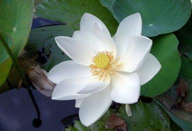 Lotus (lotos)