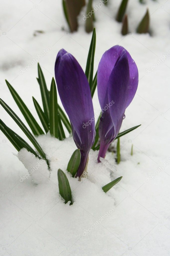 Crocuses in winter