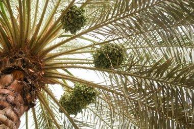 Dates palm tree
